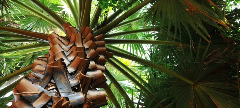 Palm Tree Skinny