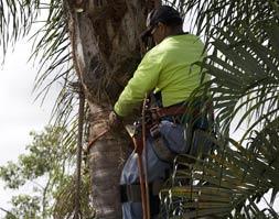 Palm Tree Triming